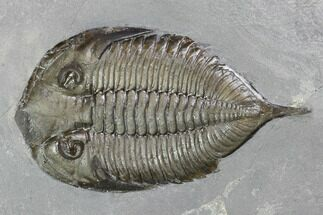 "2.2"" Dalmanites Trilobite Fossil  - New York For Sale, #99092"