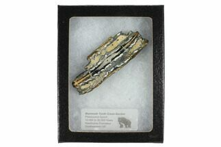 "2.7"" Mammoth Molar Slice With Case - South Carolina For Sale, #99530"