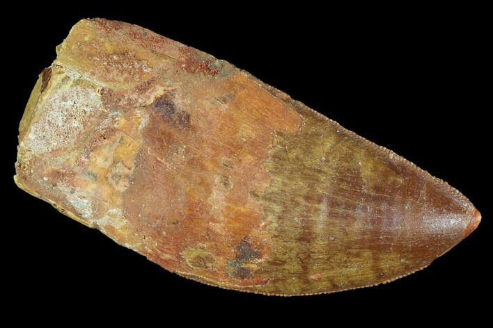 "Serrated, 2.6"" Carcharodontosaurus Tooth - Robust Tooth"