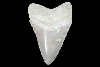 "Buy Serrated, 2.21"" Bone Valley Megalodon Tooth - Florida - #99877"