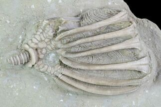 "2.4"" Crinoid (Eretmocrinus) Fossil - Crawfordsville, Indiana For Sale, #99944"
