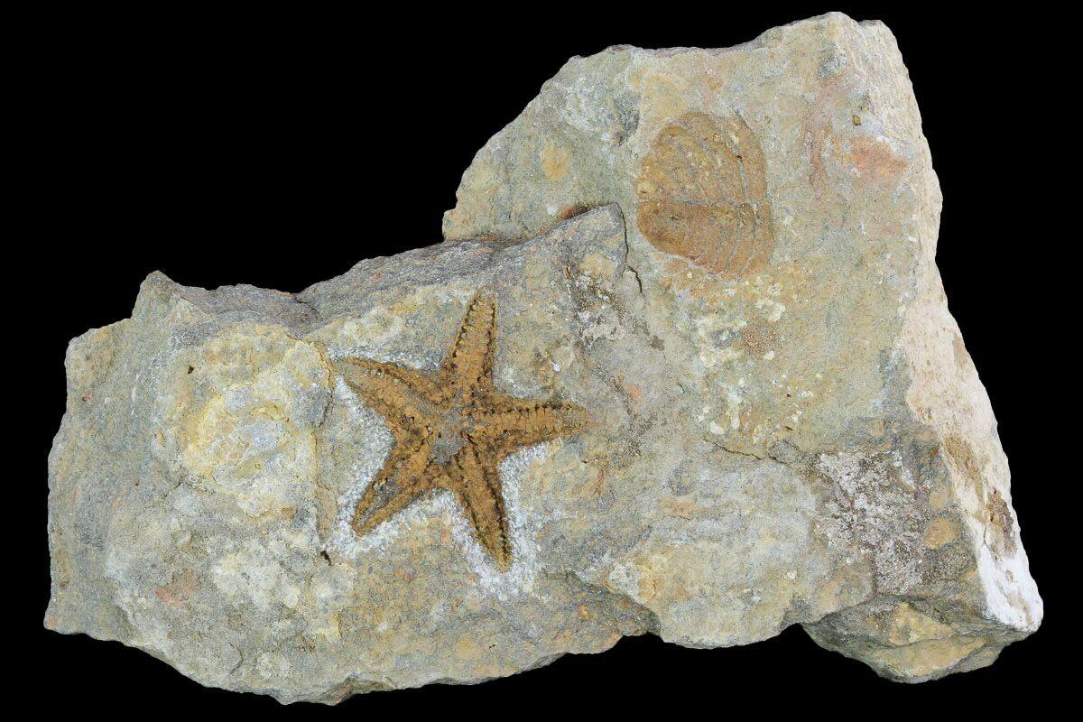 "1.2"" Ordovician Starfish (Petraster) Fossil - Morocco For ..."