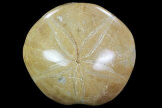 "Buy 2.8"" Polished Fossil Sand Dollar (Pygurus) - Jurassic - #100126"