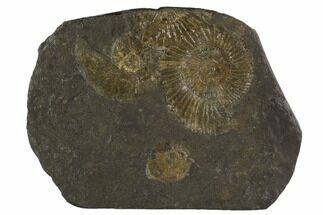 "4.5"" Dactylioceras Ammonite Cluster - Posidonia Shale, Germany For Sale, #100241"