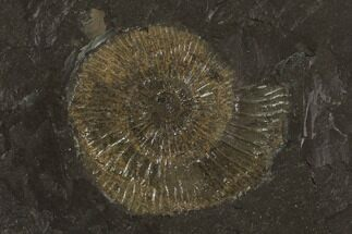 "Buy 1.5"" Dactylioceras Ammonite Fossil - Posidonia Shale, Germany - #100252"