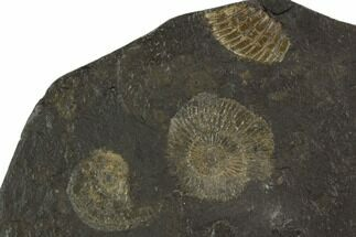 Dactylioceras - Fossils For Sale - #100257
