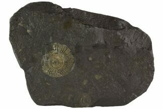 "1.2"" Dactylioceras Ammonite Fossil - Posidonia Shale, Germany For Sale, #100250"
