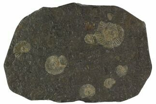Dactylioceras - Fossils For Sale - #100266