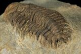 "Bargain, 2.4"" Ordovicina Actinopeltis Trilobite - Draa Valley, Morocco - #100390-2"