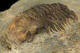 "Bargain, 2.4"" Ordovicina Actinopeltis Trilobite - Draa Valley, Morocco - #100390-5"