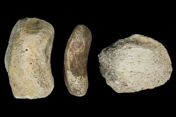 "6.9"" Composite Hadrosaur Finger - Alberta (Disposition #000028-29)"