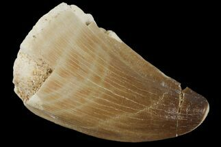 "1.4"" Mosasaur (Prognathodon) Tooth - Morocco For Sale, #101045"