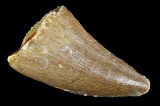 "Buy 1.1"" Mosasaur (Prognathodon) Tooth - Morocco - #101080"