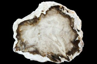 "4.8"" Petrified Wood (Bald Cypress) Slab - Saddle Mountain, WA For Sale, #101201"