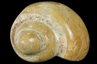 "3.8"" Polished Fossil Gastropod - Madagascar For Sale, #101114"