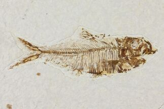 "3.6"" Diplomystus Fossil Fish - Wyoming For Sale, #101183"