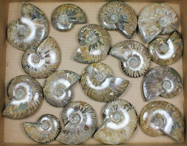 "Wholesale: 3-5"" Whole Polished Ammonites (Grade B/C) - 16 Pieces"