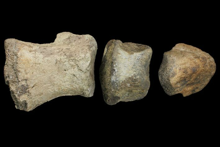 "10.1"" Composite Hadrosaur Finger - Alberta (Disposition #000028-29)"