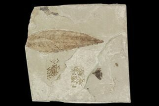 Leaf and Flower Fossil - Green River Formation, Utah For Sale, #101672