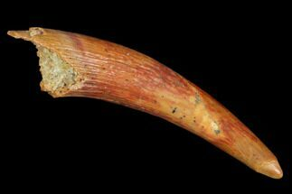 "1.1"" Pterosaur (Siroccopteryx) Tooth - Morocco For Sale, #101723"