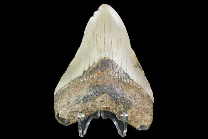 "4.91"" Fossil Megalodon Tooth - North Carolina"