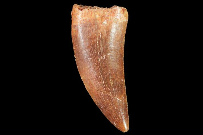 ".83"" Raptor Tooth - Real Dinosaur Tooth"