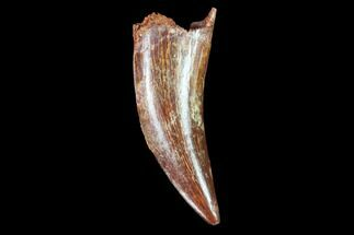 "1.25"" Raptor Tooth - Real Dinosaur Tooth For Sale, #102404"