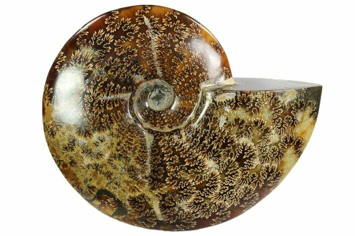 "7.7"" Polished, Agatized Ammonite (Cleoniceras) - Madagascar"