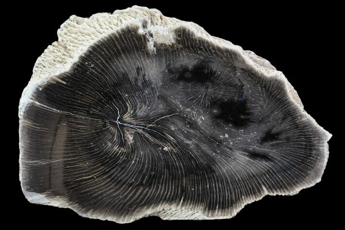 "3.4"" Polished Petrified Wood (Sycamore) End Cut - Oregon"