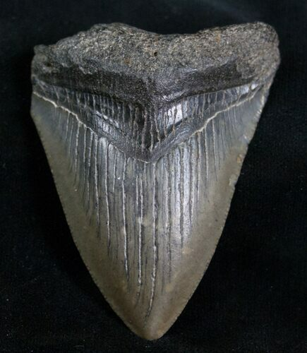 "2.83"" Megalodon Tooth - Peace River, Florida"