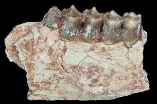 "Buy 2.4"" Oreodont (Leptauchenia) Jaw Section - South Dakota - #101824"