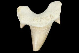"Buy 2.1"" Fossil Shark Tooth (Otodus) - Morocco - #103255"