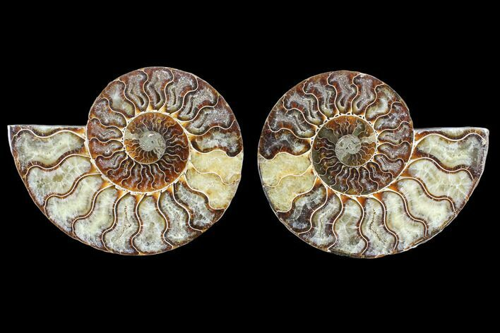 "4.5"" Cut & Polished Ammonite Fossil - Agatized"