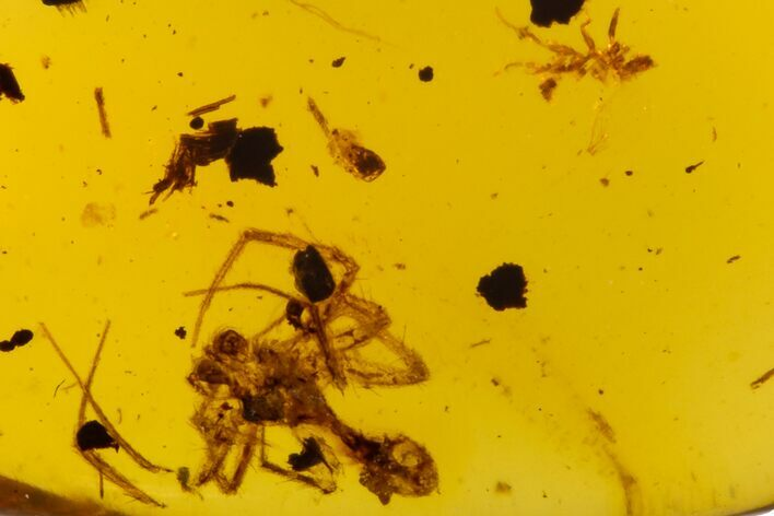 Cretaceous Fossil Spider (Araneae) in Amber - Myanmar