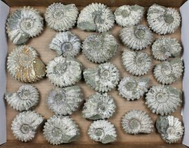 Buy Wholesale: 5Kg Bumpy Ammonite (Douvilleiceras) Fossils - 24 pieces - #103219