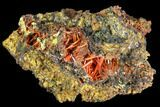 "2.6"" Bright Orange Crocoite Crystal Cluster - Tasmania - #103807-1"