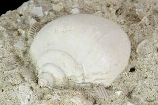 Buy Eocene Fossil Gastropod - Damery, France - #103873