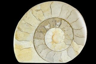 "Buy 2.6"" Polished Ammonite (Hildoceras) Fossil - England - #104002"