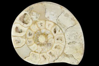 "Buy 2.3"" Polished Ammonite (Hildoceras) Fossil - England - #103987"