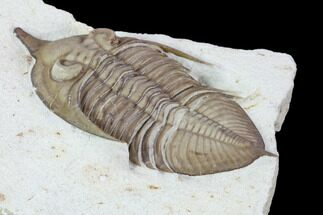 Huntonia huntonensis  - Fossils For Sale - #104046