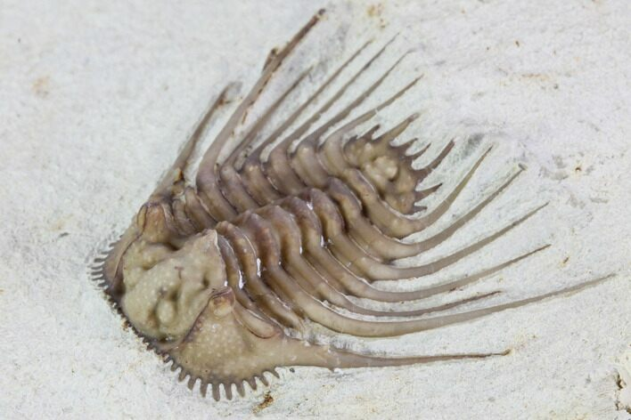 ".9"" Kettneraspis Trilobite - Black Cat Mountain"