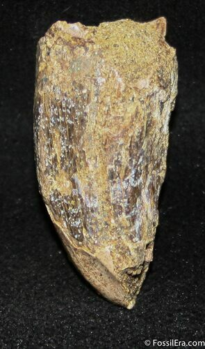 Bargain .95 Inch Tyrannosaurid Tooth