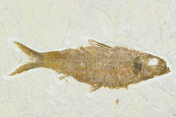 "3.9"" Detailed Fossil Fish (Knightia) - Wyoming"