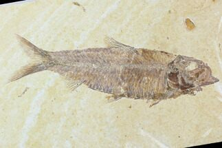 "4.6"" Detailed Fossil Fish (Knightia) - Wyoming For Sale, #104183"