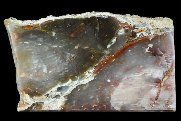 "5.1"" Petrified Wood (Araucioxylon) - Circle Cliffs, Utah"