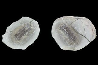 Pecopteris sp. - Fossils For Sale - #104766