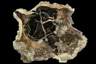 "Buy 6.7"" Petrified Wood (Cherry) Round - McDermitt, Oregon - #104911"