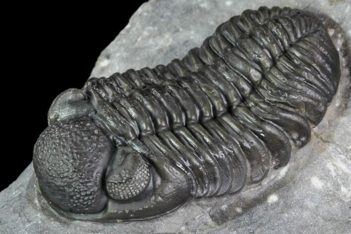 "1.53"" Phacops Araw Trilobite - Scarce Phacopid Species"