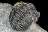 "1.9"" Adrisiops Weugi Trilobite - New Phacopid Species - #104963-3"