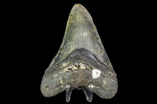 Carcharocles megalodon - Fossils For Sale - #105018